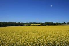 Rape field. Nice rape field in the summer Stock Photography