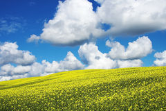Rape field. Yellow rape field with blue sky and clouds above it Stock Photo