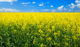 Free Rape Field Royalty Free Stock Images - 51938829