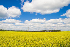 A rape field Royalty Free Stock Image