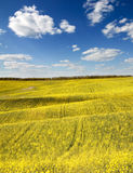 Rape field Royalty Free Stock Photography