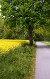 Rape field. And a tree Stock Image