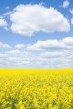 Field. Yellow seed field in Ukraine Royalty Free Stock Photo