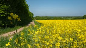 Rapeseed field along a path with a blossom in the foreground royalty free stock photo
