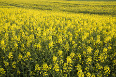 Rape field background Royalty Free Stock Images
