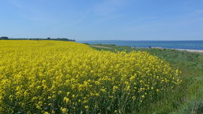 Rape field on the Baltic Sea coast in spring Royalty Free Stock Images