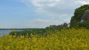Rape field on the Baltic Sea coast in spring Royalty Free Stock Photography