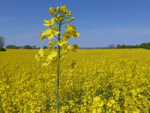 Rape field on the Baltic Sea coast in spring. Beautiful rape fields on the Baltic Sea coast in spring Royalty Free Stock Photos