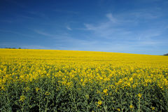 Rape Field, Bavaria Stock Photo
