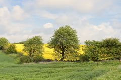 Rape Field Behind the Trees Stock Photos