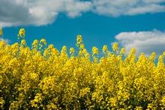 Rape Field in Bloom under Blue Sky. Spring Landscape of Rape Field in Bloom under Blue Sky Royalty Free Stock Photos