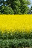Field and blossom in spring. At south german blue sky sunny day royalty free stock photography