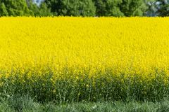 Field and blossom in spring. At south german blue sky sunny day royalty free stock image