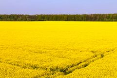Rape Field. A field of rape blossoms in spring Stock Photo