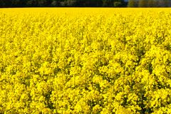 Rape Field. A field of rape blossoms in spring Royalty Free Stock Photography