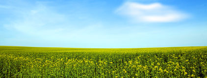 Rape field and a blue sky Royalty Free Stock Photos