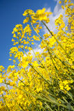 Rape field, blue sky Royalty Free Stock Photo
