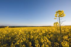 A rape-field with blue sky in background Royalty Free Stock Photography
