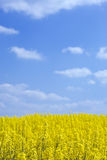 Rape field, blue sky, fluffy clouds Royalty Free Stock Photography