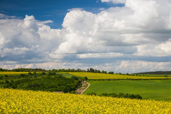 Rape field and blue sky Stock Photo