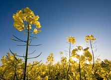 Rape field with blue sky and sun. Royalty Free Stock Photography