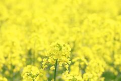 Rape field, canola crops Stock Photos