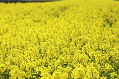 Rape field, canola crops Royalty Free Stock Image