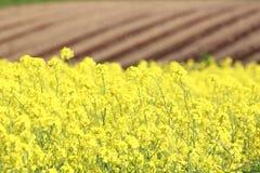 Rape field, canola crops Stock Image