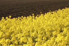 Rape field, canola crops Stock Photography