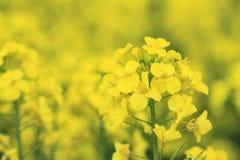 Rape field, canola crops Stock Images