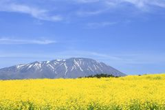 Rape field, canola crops on blue sky Stock Photography