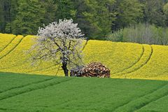 Rape field with cherry tree in Germany Royalty Free Stock Photography