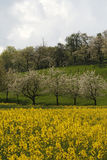 Rape field with cherry trees, Germany Royalty Free Stock Images