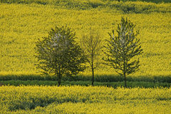 Rape field with cherry trees in Germany Stock Images