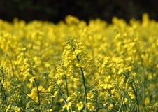 Rape field in daylight at springtime Royalty Free Stock Photo