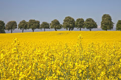 Rape field in Denmark. Stock Image
