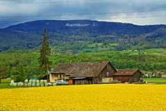 Rape field farm view Switzerland. Farmhouse in bright yellow rape field in Geneva city vicinity,Switzerland Royalty Free Stock Images