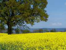 rape field at a fjord 1 Royalty Free Stock Photos