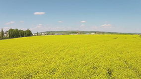 Rape field flyover stock video