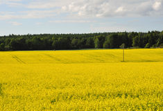 Field. With forest in background, summer time in Sweden royalty free stock photography
