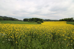 A Rape field Royalty Free Stock Images