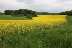 A Rape field Royalty Free Stock Photography
