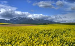 Rape field  with Hight Tatra Royalty Free Stock Photo