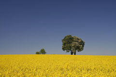 Rape field with Horse chestnut in spring Stock Photos
