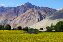 Rape field, Ladakh, Northern India Royalty Free Stock Photography