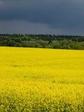 Rape field landscape Royalty Free Stock Images