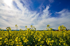Rape field, landscape Stock Photo
