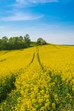 Field landscape. Path in yellow oilseed field under blue sky in sommer stock image