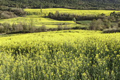 Rape Field. A rape field landscape in spring Stock Photos