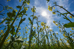 Rape field landscape Royalty Free Stock Photo
